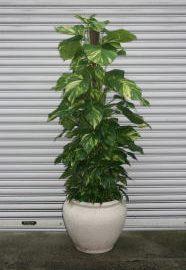 乾燥に強く、丈夫で育てやすい定番の観葉植物です。伸びたツルをカットして小さなグラスにさしたり、吊り鉢仕立てにしたり応用できるので、いろいろ楽しむことができます。
