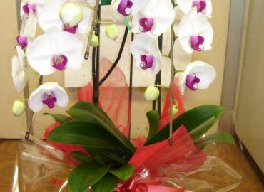 用途に合わせて 白、ピンク、リップ等取り揃えております。 弊社作成のひのきの木札とラッピングで 全国どこでも無料配送でお届けいたします。 胡蝶蘭20,000円~ 華麗な蘭の他、バリエーション豊かな花鉢を いつでもご用意いたします。 ご遠慮なく、ご相談ください。
