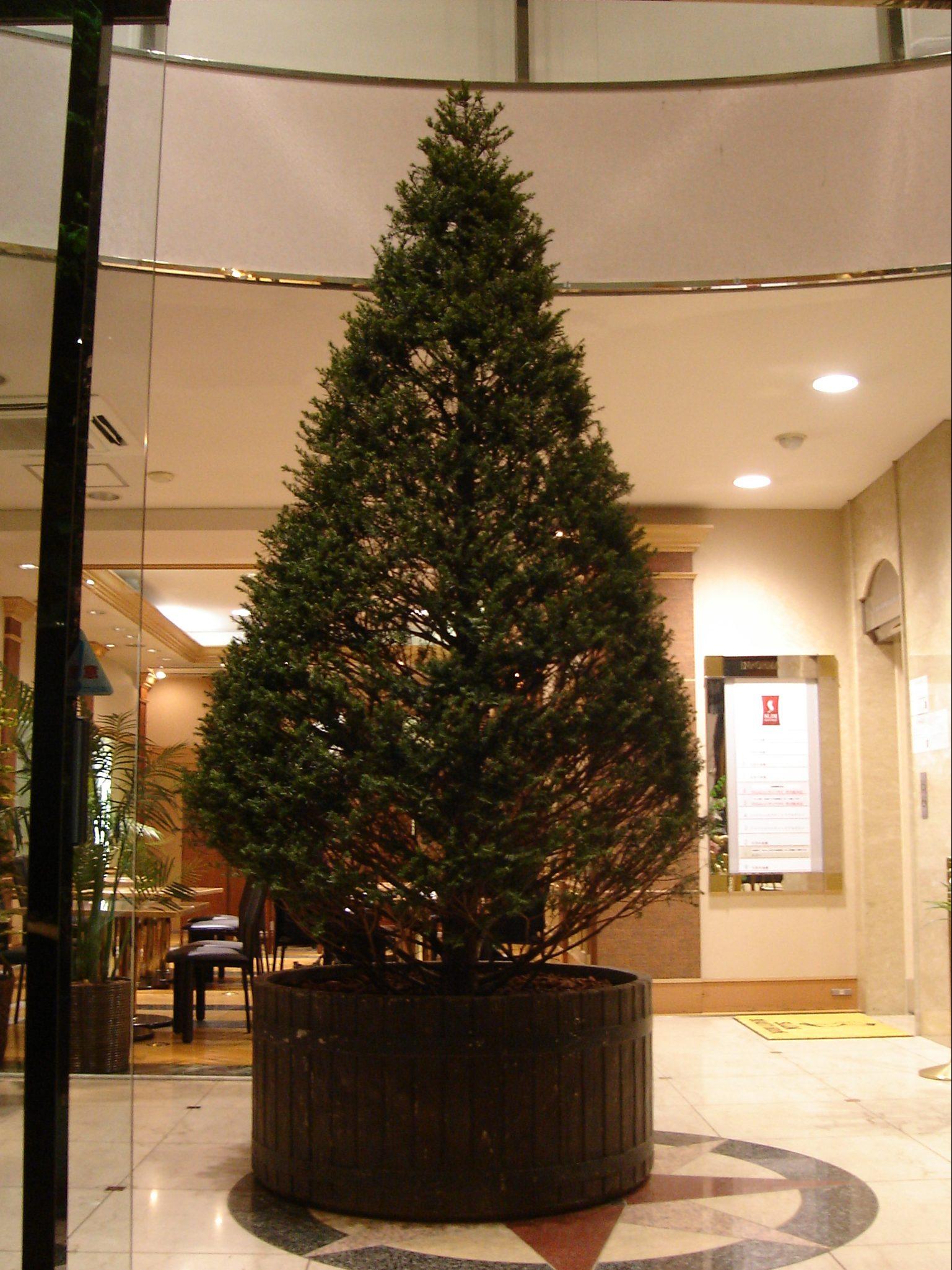 クリスマスになると、どこでもツリーの話題でもちきりです。3m以上の大きなモミもご用意できます。