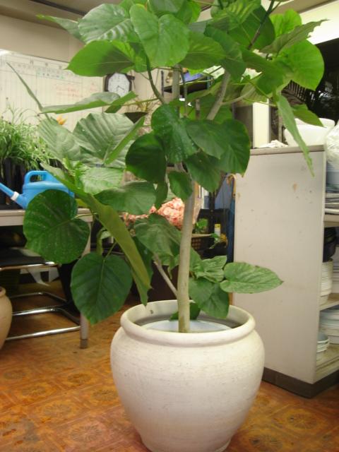 瑞々しく大きな葉を持つ植物は存在感があります。